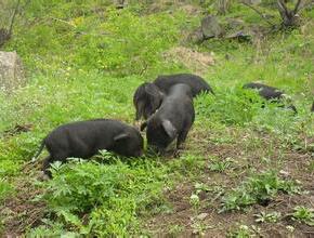 生特之家购买生态藏香猪